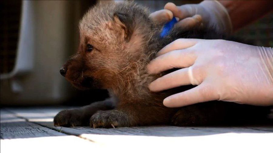 Wolf pups' first outing at French zoo