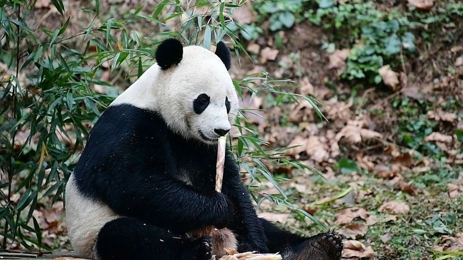 US-born panda Bei Bei arrives in new China home