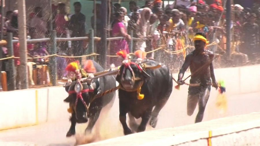 Is this buffalo racer India's Usain Bolt?