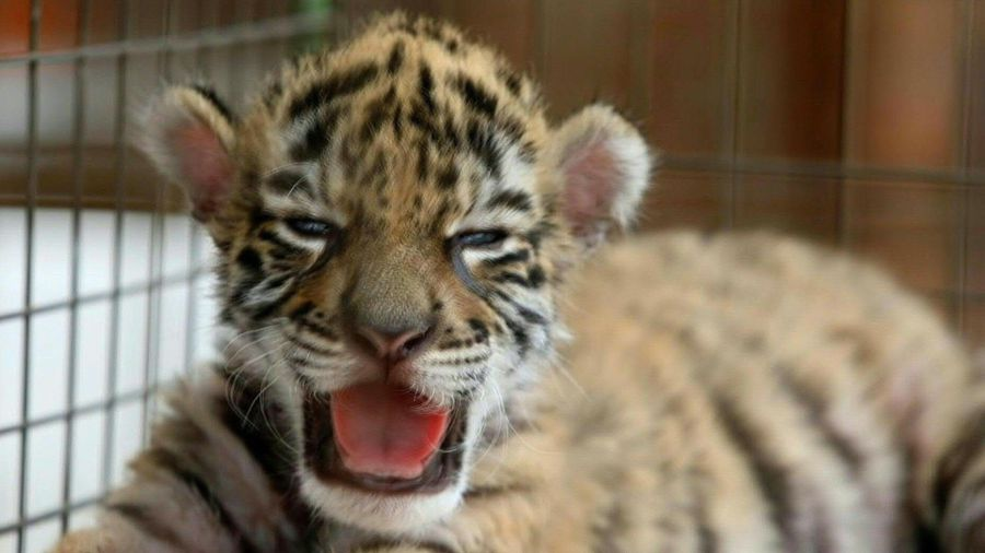'Covid', the baby tiger born under quarantine in a Mexican zoo