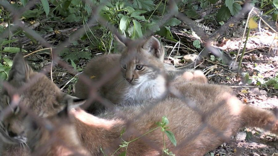 Two Eurasian lynx cubs take first steps in Sofia Zoo