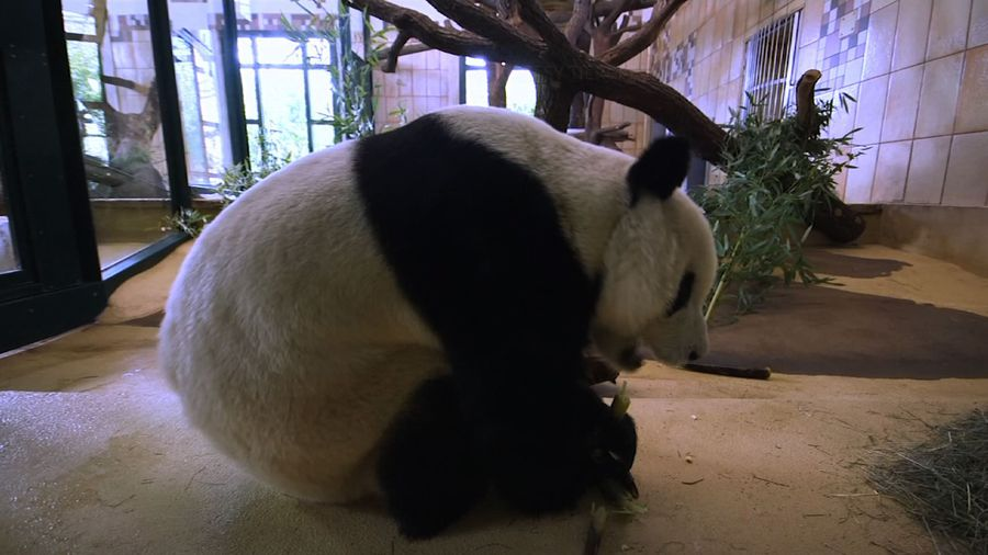 19-yr-old male giant panda arrives at Vienna zoo