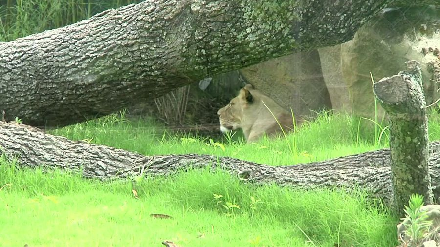 New African lion exhibit opens in New Orleans