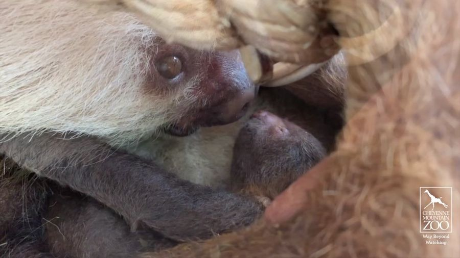 Baby sloth gets slow, but loving, care from mother