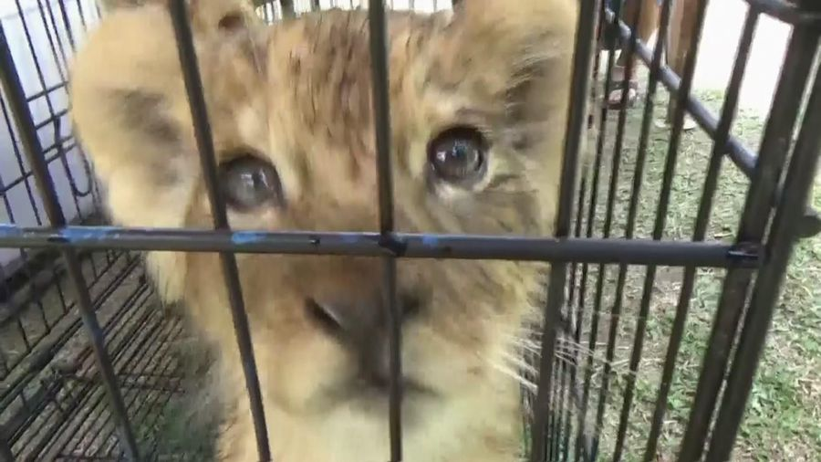 Baby lions and leopard rescued from poachers