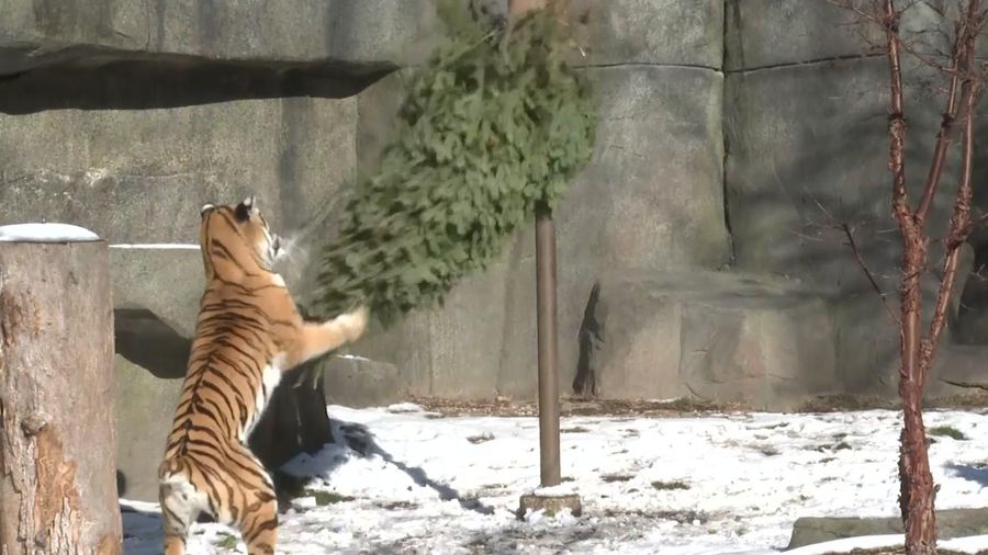 Zoo uses old Christmas trees for animal treat