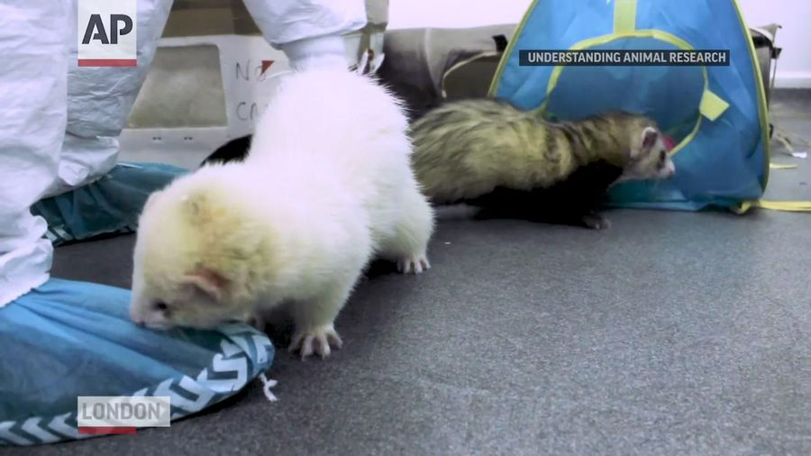 Ferrets offer needed clues in COVID-19 vaccine race