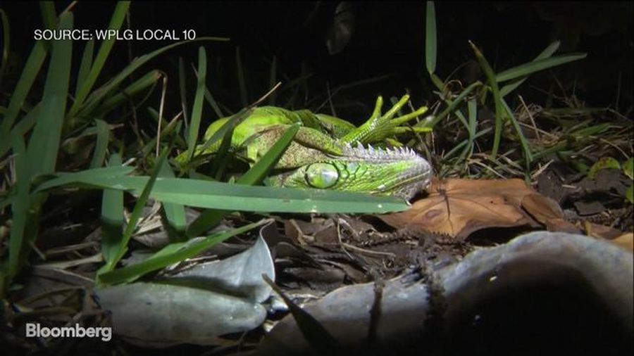Cold Weather Causes Iguanas to Fall From Trees in Florida