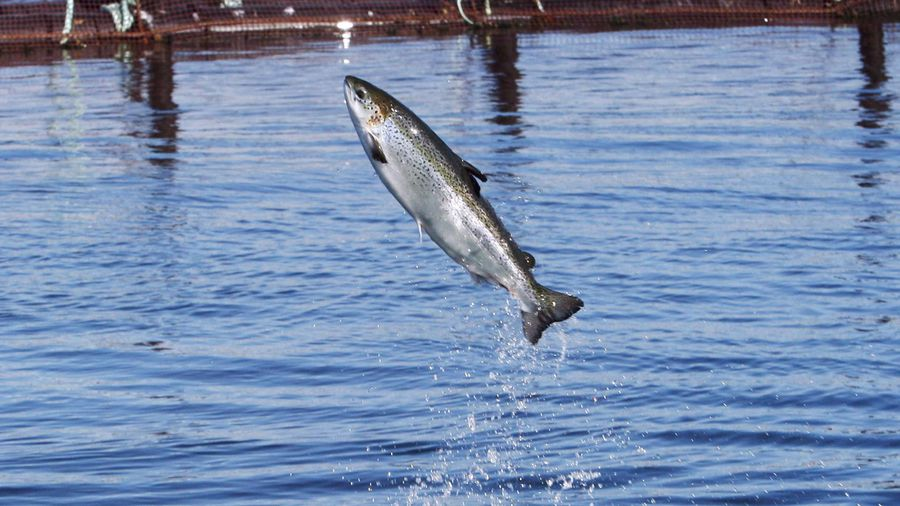 Salmon group presses for thorough environmental review of N.L. fish farming expansion