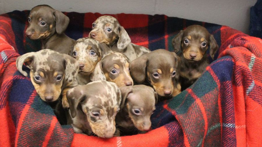 Dachshunds Through The Snow: Nine Puppies Named After Santa's Reindeer Seek New Homes