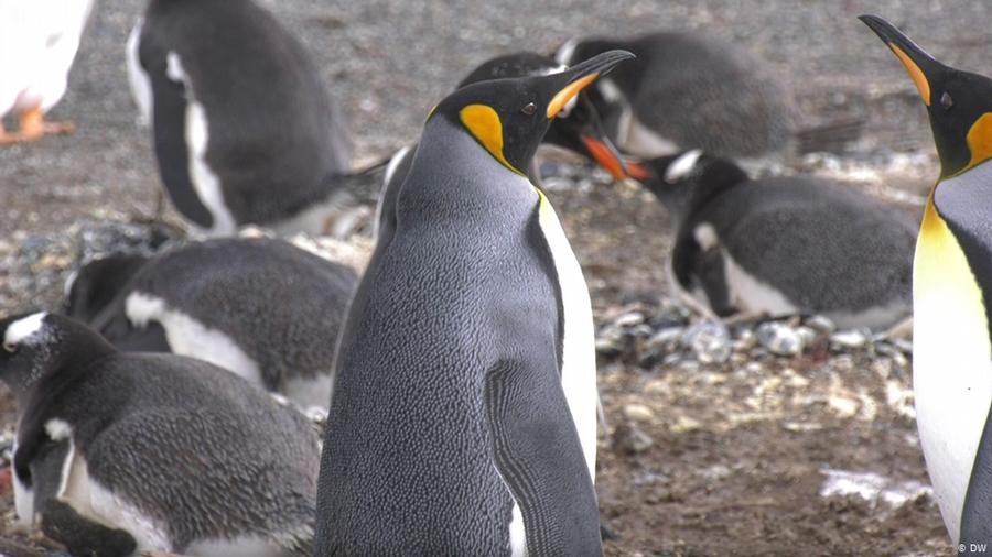 Argentina: Penguin colonies suffer from plastic trash