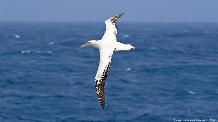 French scientists want to help albatrosses