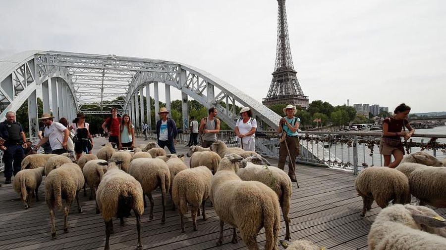 Watch: Herd of sheep enjoy ur'baaa'n life as they tour French cities