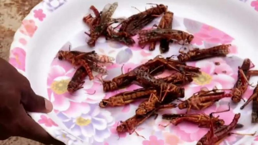 Somalia tackles plague of locusts — by frying and serving them with rice