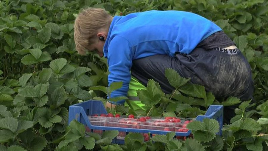 Pick your own fruit: Thousands of Finns replace foreign workers save summer strawberry harvest