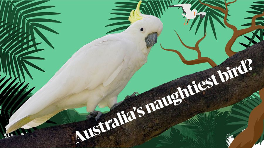 On the trail of Australia's naughtiest cockatoo
