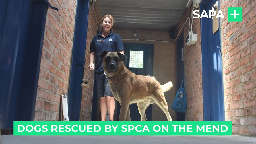 Dogs rescued by SPCA on the mend