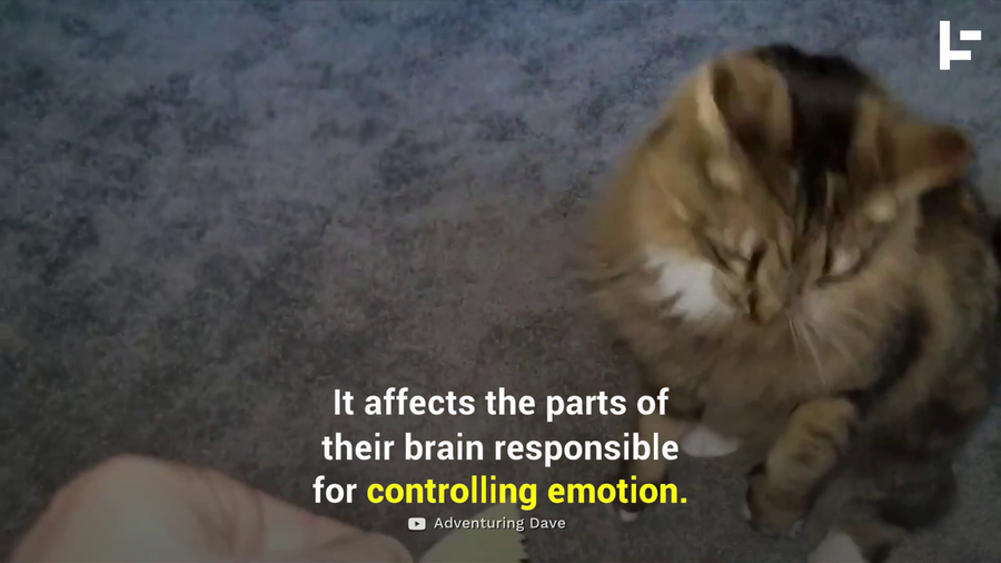 Does Your Cat Really Get High From Catnip?