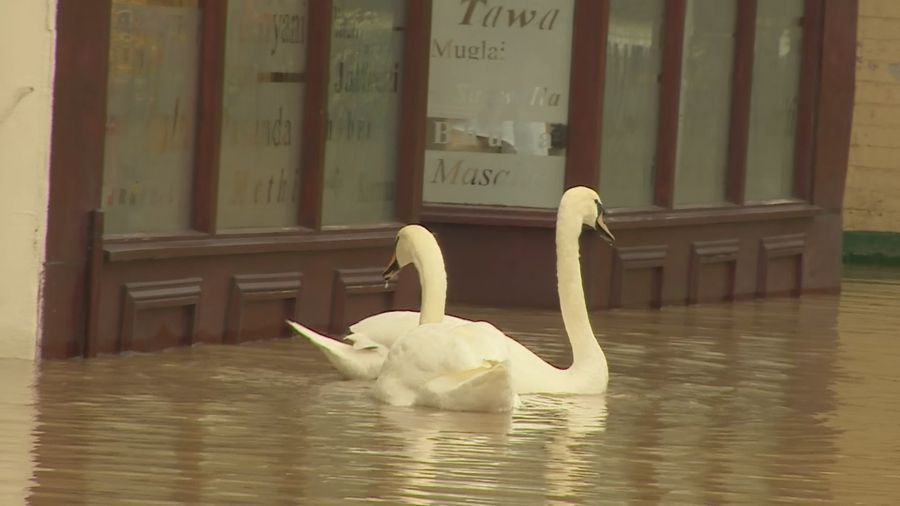 Swans swim past shops in Evesham's Waterside