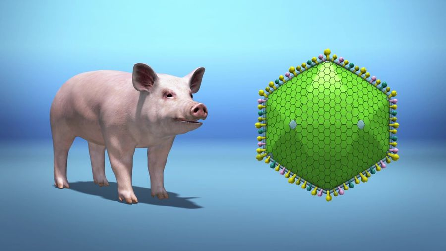 A quarter of all pigs could die from swine fever