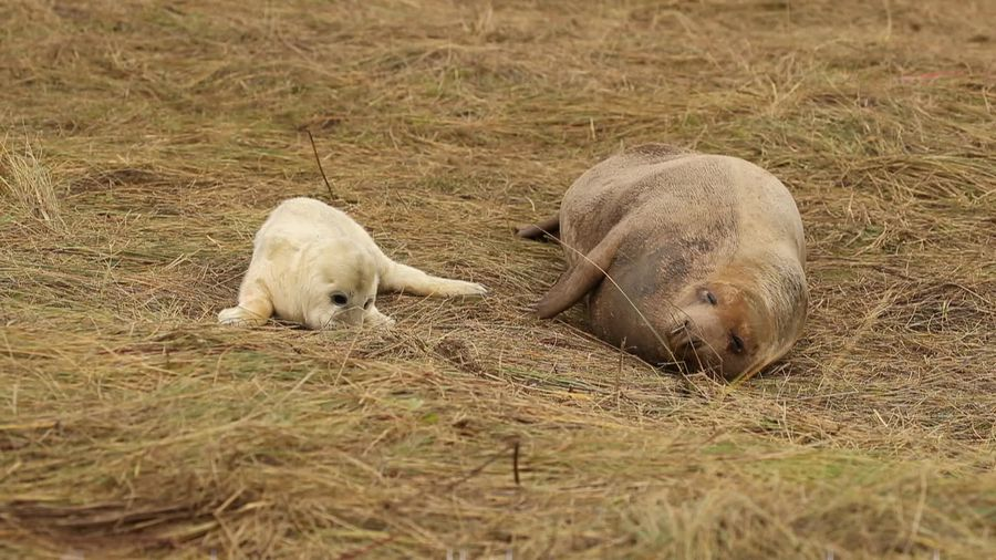 Cute grey seal pups born on UK coastline