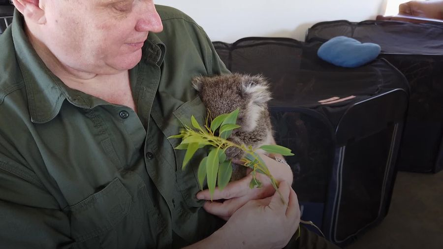Ray Mears visits orphaned and injured koalas in Australia
