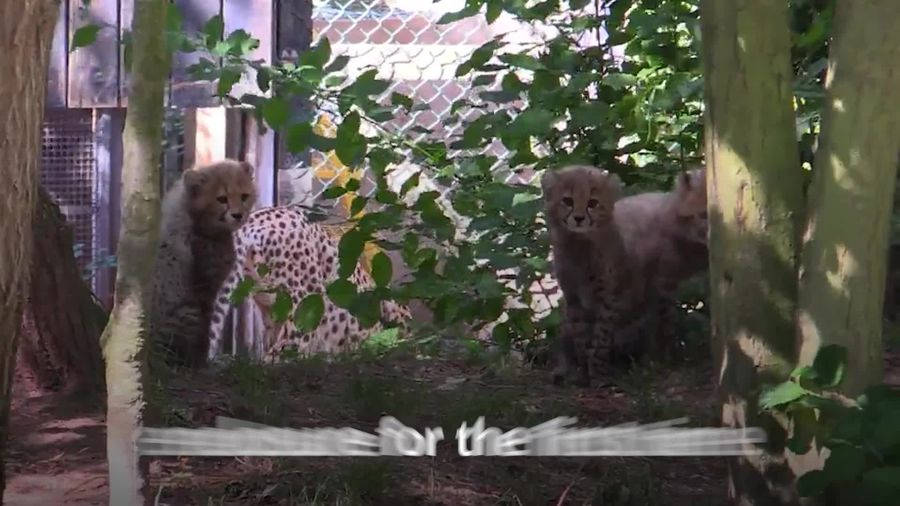 Cheetah cubs emerge from den at Colchester Zoo