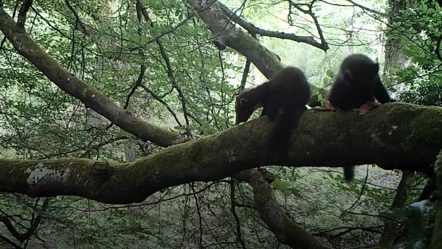 Baby success for England's first reintroduced pine martens