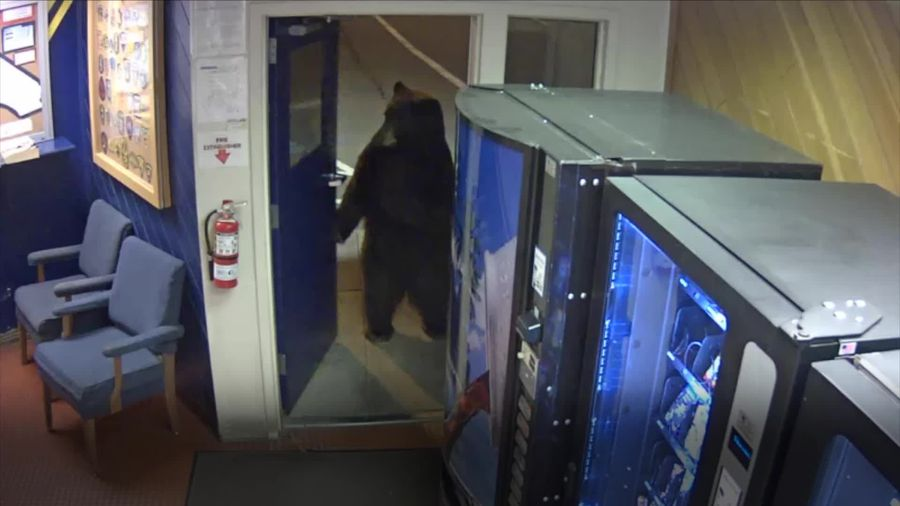 Bear opens door and walks into police station