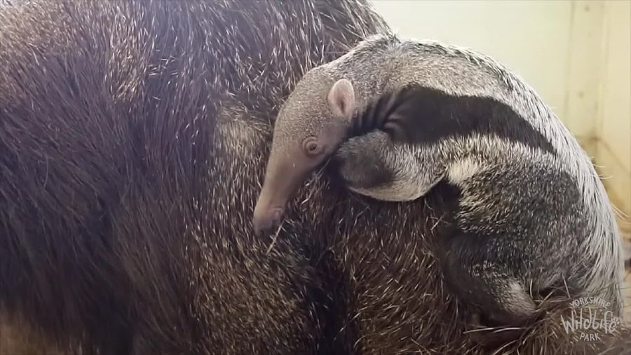 Surprise giant anteater baby born at Yorkshire Wildlife Park