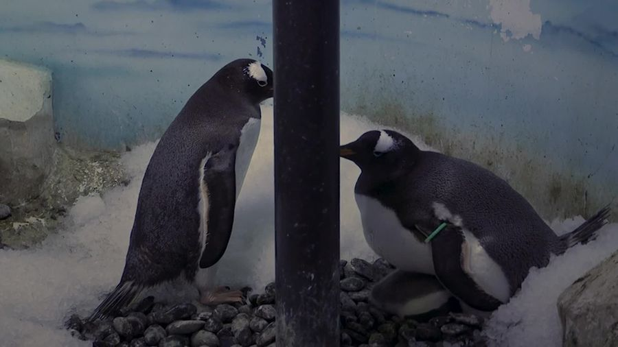 Same-sex penguin couple become new parents