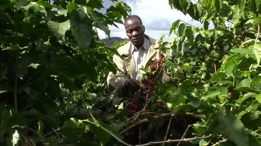 Small farmers put Zimbabwe's coffee back on the map