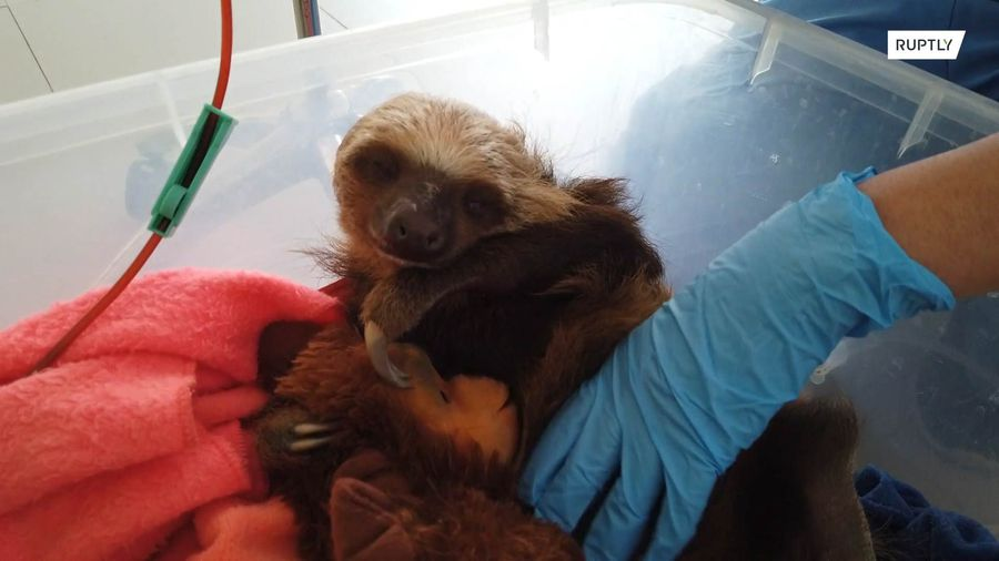 Baby sloth is rescued after loggers cut down its tree, nearly killing it