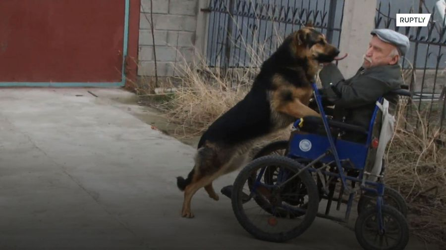 Hound gives wheelchair-bound human a helping hand - we really don't deserve doggos