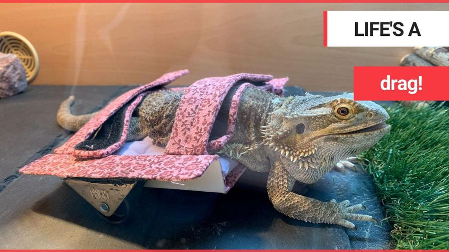 Paralysed bearded dragon able to crawl with custom-made wheelchair