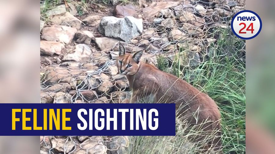 WATCH: Hiker has close encounter with wild caracal on Table Mountain