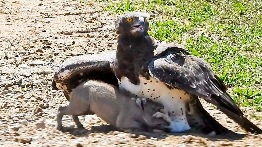 Hearts will break as you see an eagle take out a baby warthog