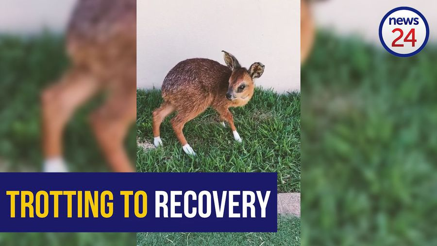 WATCH: Fire rescue Bambi trotting on the road to recovery