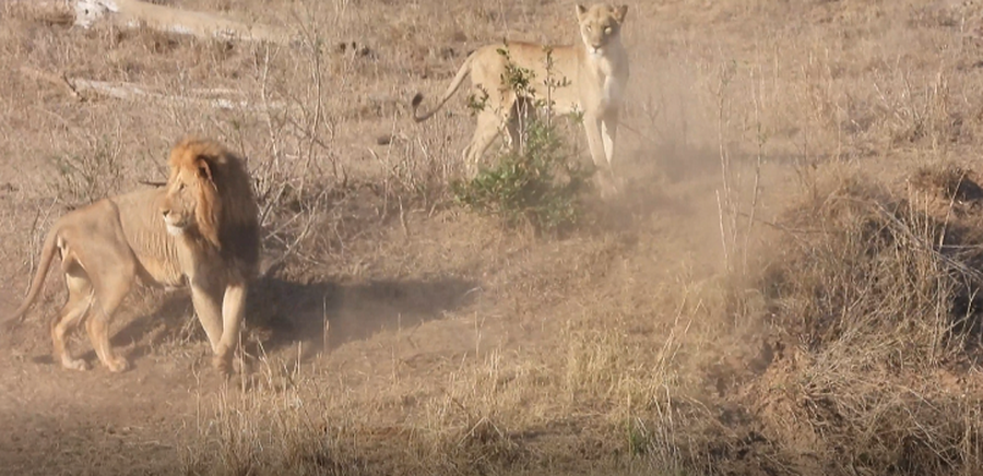Two lions collide in epic impala-hunting fail