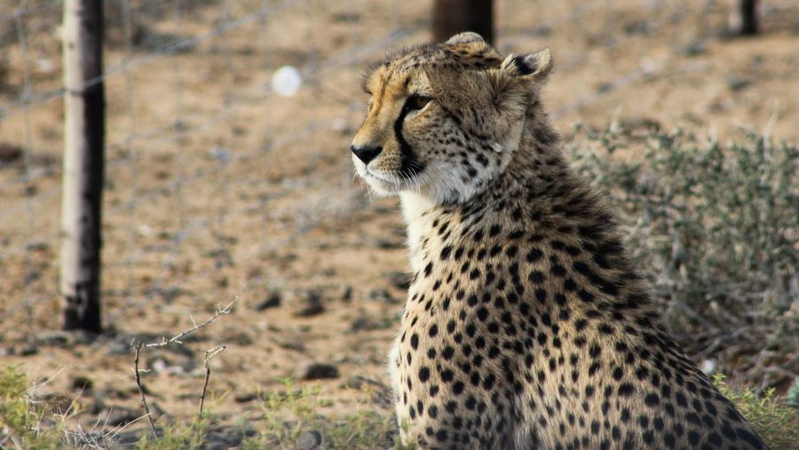 A short escape to the Klein Karoo where cheetahs roam