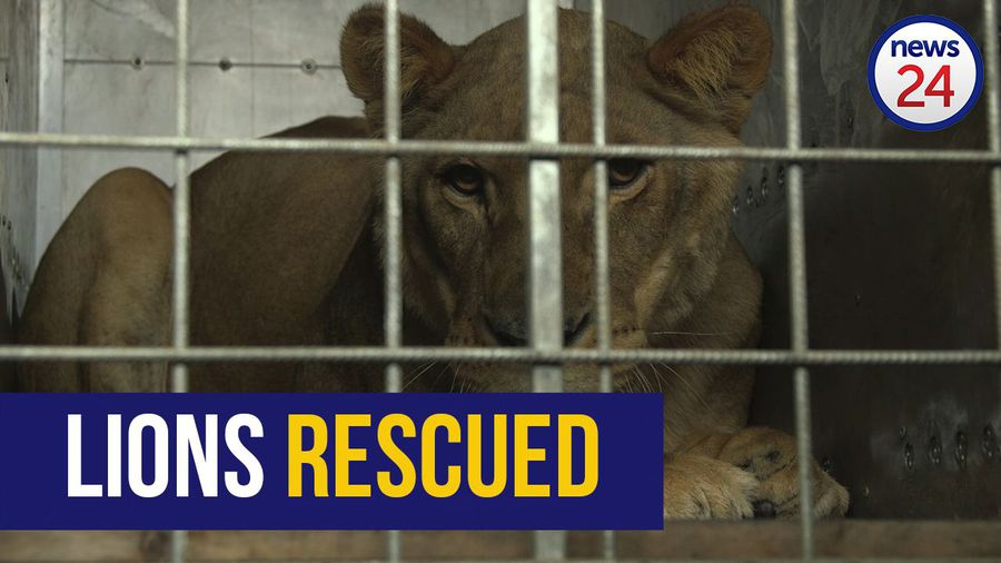 WATCH: New lease on life for two lions rescued from notorious Gaza zoo