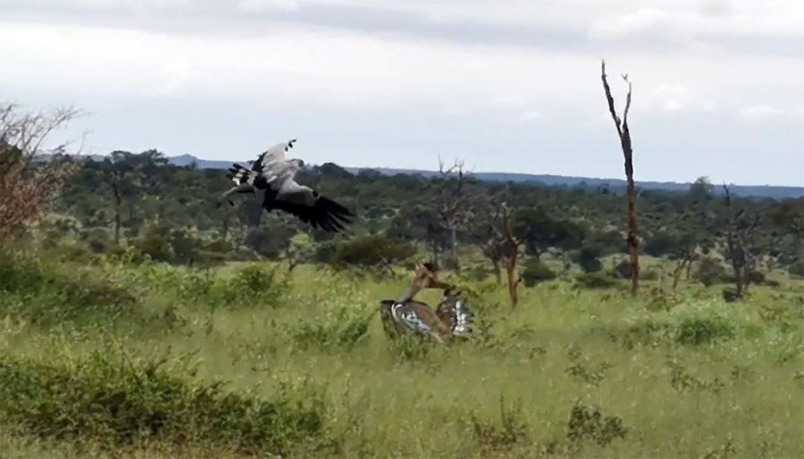 Secretary and Kori Bustard in bird brawl unlike anything you've seen in Kruger