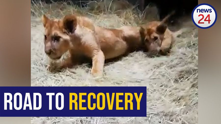WATCH: Abused, malnourished Lichtenburg lions learn to roar again