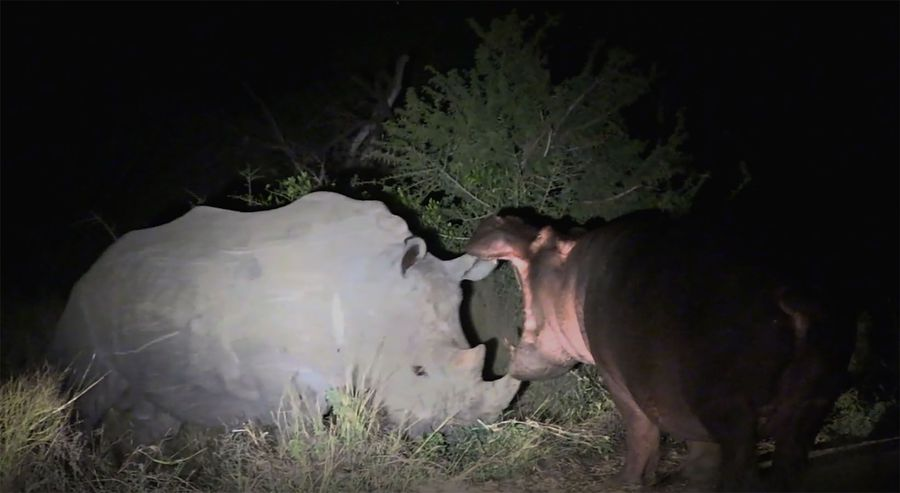 Latests Sightings: A rhino and a hippo go at it, in unusual head to head