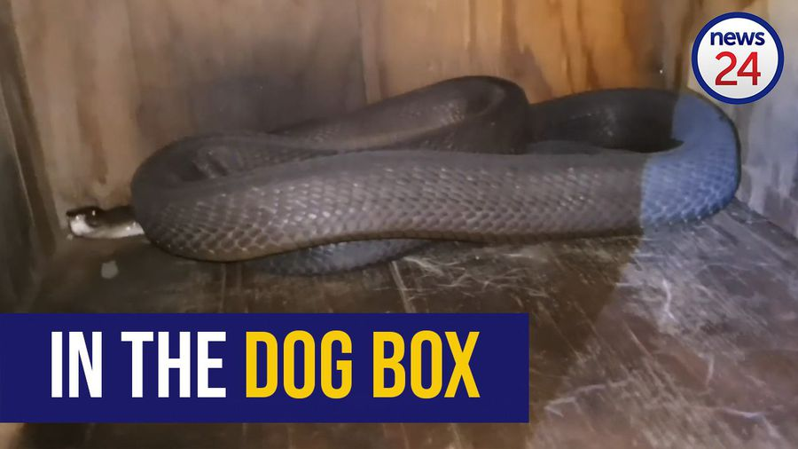 WATCH: Snake catcher removes 2.4m black mamba from KZN dog house