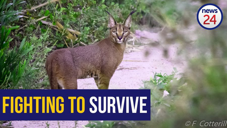 WATCH: Cape Town's caracals in peril due to rat poison