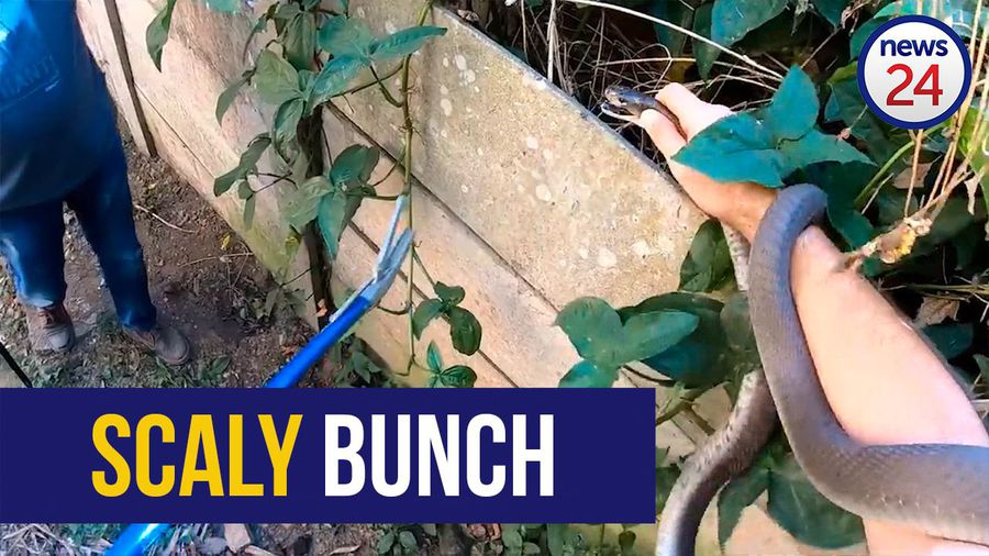WATCH: Five black mambas found at 'snake magnet' property
