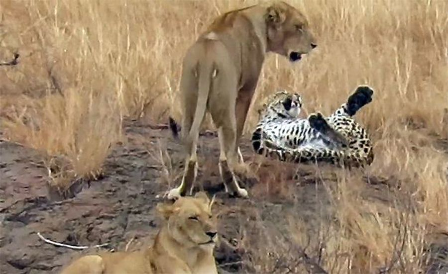 Latest Sightings: Clever leopard rolls over in submission to escape pride of lion