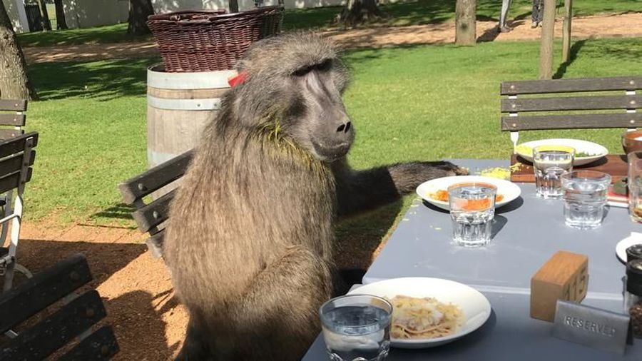 Baboon drops in for lunch at Groot Constantia restaurant in Cape Town