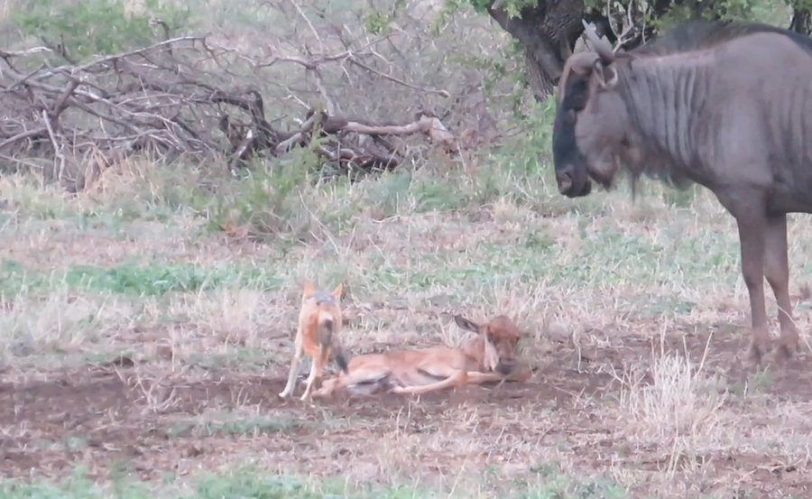 Latest Sightings: Wildebeest mother protects calf from two hungry jackals